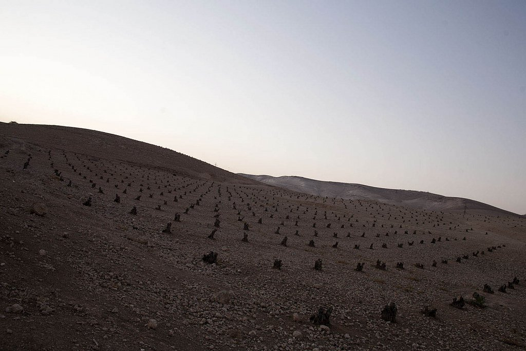 800.000 olive trees uprooted