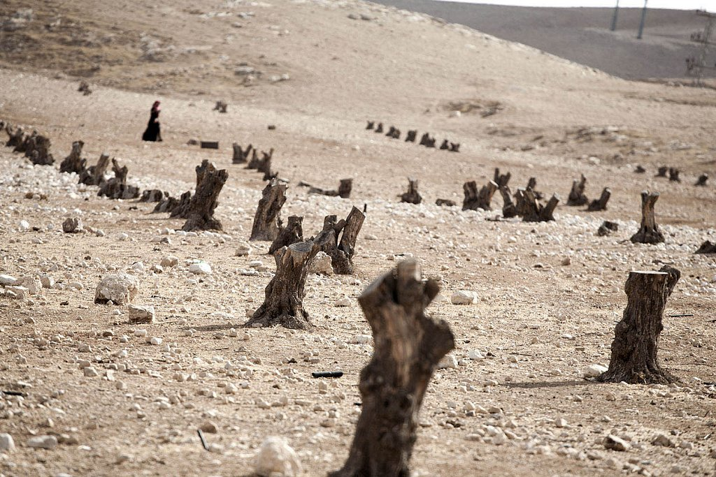 Palestinian olive trees cemetery. Cut by Israel for security rea